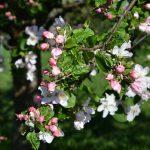 Gefunden-Auch Bad Oeynhausen hat Apfelbäume