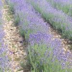 Lavendelfelder in der Nähe von Horn-Bad Meinberg